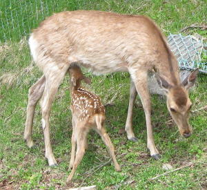 知床の道ばたで見た鹿の母子
